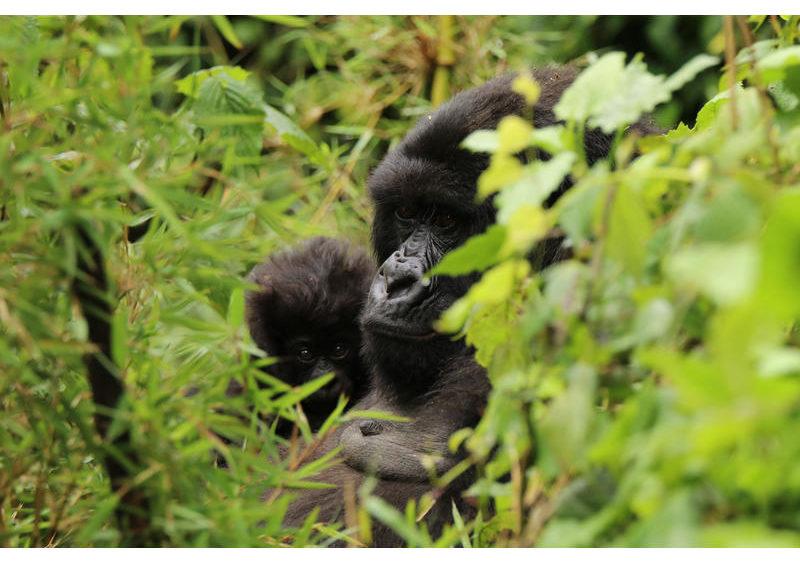 Hauptziel des Projekts ist es, einen der letzten Lebensräume der seltenen Virunga-Berggorillas zu retten und die CO2-Emissionen zu senken. Etwa 600 der verbleibenden 1000 wildlebenden Berggorillas leben in den Virunga-Bergen.